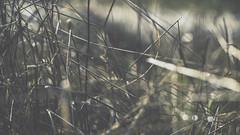 PB_012618_39 (losing.today) Tags: brianyoung oregon pacificnorthwest portland pdx portlandoregon portlandor winter nature outdoors naturepark plantlife plants moodyseason darkseason losingtoday grass grassstudies