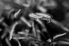 Hunger (belleshaw) Tags: blackandwhite huntingtongardens nature carnivorous sundewplant sticky tongues points abstract macro detail bokeh bog