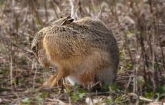 1S9A7985 (saundersfay) Tags: hare elmley hares kestrel