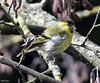 Tarin des aulnes (Spinus spinus ) avec des graines au bec (jean-lucfoucret) Tags: bird aves jaune plumage nikon d500 nikkor 200500 eurasian siskin spinus tarin des aulnes passériformes fringillidés bec graine
