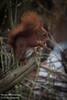 Eekhoorn [2] (Werner Wattenbergh) Tags: fauna eekhoorn mammals squirrel zoogdieren