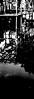 染色 (dyeing) (Dinasty_Oomae) Tags: arco35 アルコ35 arco アルコ 白黒写真 白黒 monochrome blackandwhite blackwhite bw outdoor 東京都 東京 tokyo 江東区 kotoku 亀戸 kameido サギ heron 神社 shrine 亀戸天満宮