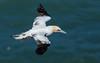 Gannet (Gary McHale) Tags: gannet northern north sea bempton cliffs rspb gary mchale subadult fourth year 4th