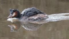 Great Crested Grebe (Myrfyn) Tags: weaver riverweaver winsford greatcrestedgrebe