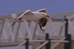 Silver Gull (Rodger1943) Tags: gulls waterbirds seabirds silvergull australianbirds fz1000 birdsinflight faunainmotion