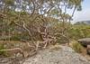 Sydney red gum growing over rock (keithhorton3) Tags: gum eucalypt rusty angophora gumtree australia nature tree redgum sydney eucalyptus hdr