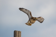 Red-tailed Hawk (mathurinmalby) Tags: bird buteojamaicensis hawk plumisland redtailedhawk birdinflight