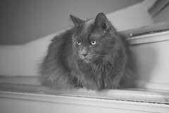 Stare Down (flashfix) Tags: march132018 2018inphotos ottawa ontario canada nikond7100 40mm nikon flashfix flashfixphotography portrait naturallighting cat feline whiskers ears kittynose fyero nebelung ragamuffin ragdoll fluffy graycat monochrome blackandwhite