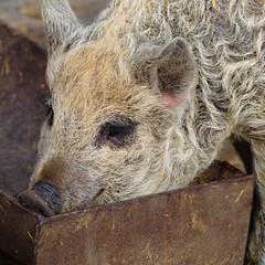 Mangalitza piglet, Mary Arden's Farm, Wilmcote (Dave_A_2007) Tags: susscrofadomesticus animal mammal nature pig wildlife wilmcote warwickshire england