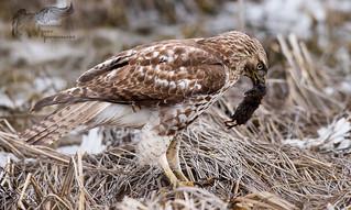 Juvenile Hawk 3_20 4