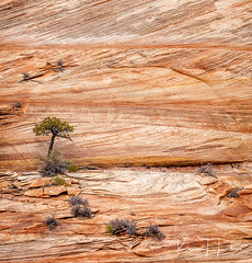 Sandstone Cross Beds seen along the Zion-Mount Carmel Road, Zion National Park, Utah (rebeccalatsonphotography) Tags: geology crossbed crossbeds sandstone sand dune lithified lithification ut utah zion nationalpark np rebeccalatsonphotography canon 5ds 100400mm telephoto