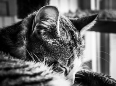 Sleep soft (LeRouxster) Tags: travelphotography traveldestination travel fur face portrait cute feline mammal animal pet dslr canon blackwhite blackandwhite bnw nap whiskers peaceful soft sleeping sleep kittens kitten cats cat