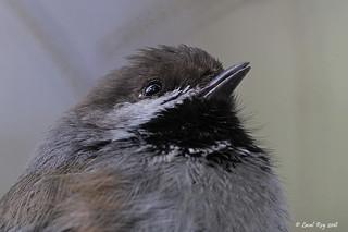 1.20126 Mésange à tête brune / Poecile hudsonicus littoralis / Boreal Chickadee