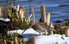 Snipe. (spw6156 - Over 6,404,003 Views) Tags: snipe 6 showed nicely copyright steve waterhouse