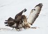 White Buzzard & Common Buzzard (ToriAndrewsPhotography) Tags: sweden skane white buzzard fighting food carcass photography andrews tori