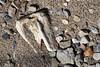 Stein und Bein (gripspix (OFF)) Tags: 20180322 flotsam strandgut neckar river fluss sand gravel kies bone knochen abgerollt rolled eroded