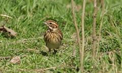 DSC02627 (simonbalk523) Tags: photography sony tamron warnham nature wildlife redwing birds british