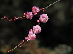 Japanese apricot (Prunus mume, 梅) blossoms (Greg Peterson in Japan) Tags: shiga 花 栗東市 flowers 梅 ritto hayashi japan 植物 滋賀県 plumblossoms plants shigaprefecture