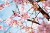 IMGL0498 (GARNETSKY2006) Tags: 180304sakura sakura japan record cherry blossom cherryblossom eos5d 5d3 50mmf12