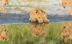 Kalionoscope (winterlight photography) Tags: africa nature wildlife botswana okavango lion cub drinking reflection conservation