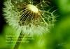 Daily Haiku: Dandelion - 066/365 (James Milstid) Tags: dailyhaiku haiku haiga poetry jemhaiku dandelion