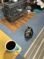 Tigger's Morning Coffee (sjrankin) Tags: 8march2018 edited animal cat tigger floor kitchen table coffee coffeecup coffeemug food drink yubari hokkaido japan