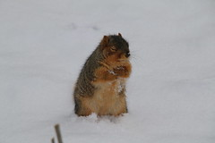 Squirrels On a Snowy Day in Ann Arbor at the University of Michigan (March 7th, 2018) (cseeman) Tags: gobluesquirrels squirrels annarbor michigan animal campus universityofmichigan umsquirrels03072018 winter eating peanut marchumsquirrel snow snowy
