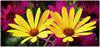 180308-1 (sz227) Tags: frauentag blumen blüte blüten flowers flower sz227 zackl sony sonyilca77m2 landesgartenschau eutin