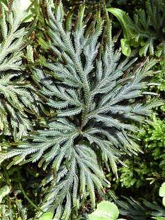Chicago, Garfield Park Conservatory, Fern Room, Lycophyte Plant