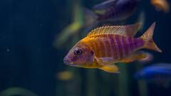 10346 (PhillipsVonNoog) Tags: animal animals tennessee aquarium wildlife fish malawi cichlid cichlids