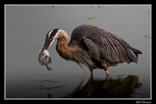 Great Blue Heron with Starry Flounder-2