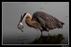 Great Blue Heron with Starry Flounder-2 (billthomas_steel) Tags: greatblueheron ardeaherodias heron bird wildlife lowermainland britishcolumbia canada canon eos7dmarkii fish fishing fraserestuary starryflounder platichthysstellatus