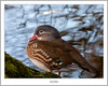 Female Mandarin, River Leven At Balloch (flatfoot471) Tags: 2017 balloch bird duck mandarin march nature normal riverleven rural scotland spring unitedkingdom westdunbartonshire gbr