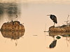 Tricolored Heron before sunrise 03-20180310 (Kenneth Cole Schneider) Tags: florida miramar westmiramarwca