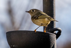 Ruby-crowned Kinglet (Stephen R. D. Thompson) Tags: stcphotography 2018 stephen r d thompson stephenrdthompson