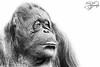 The Old Days of an Orang (Amanda Blom Photography) Tags: animal zoo dier aap orangutan orang orangoetan ouwehands dierentuin blackwhite animalshoot animalportrait animalphotography portrait ape monkey monkeyportrait canon canonphoto