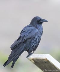 Nevermore (pandatub) Tags: bird birds raven commonraven baylands paloalto