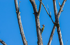 Pic vert (JeanJoachim) Tags: picvert picusviridis europeangreenwoodpecker piciformes picidae oiseau bird vogel aves uccello fågel fugl pássaro バード lintu птица ptak grünspecht pentaxk5iis smcpentaxda300mmf4edifsdm