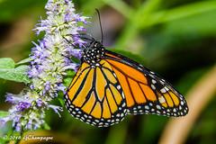 Monarque (G.Champagne) Tags: 2018 butterfliesgofree montréal papillonsenliberté monarque danausplexippus