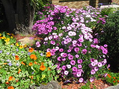 More Daisies (NevDev (Nev)) Tags: flowers green shrubs sydney newsouthwales australia greenery flower nativeplants garden gardens gardening spring color colour pink delicate horticulture suburbangarden shrub plant plants flora nature petal petals leaf leaves beauty beautiful