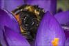 Bumble Bee on Crocus (Darwinsgift) Tags: bumble bee crocus flower spring parasites mites nikon d850 micro nikkor 200mm f4 af garden
