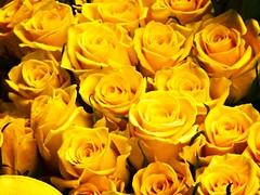 Hello, Yellow Roses (garryknight) Tags: panasonic lumix dmctz70 on1photoraw2018 london creativecommons ccby30 yellow rose flower plant