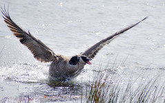That's My Girl! (Noble Bunny) Tags: canada goose geese waterfowl territorial spring mating behavior nature reserve columbia river gorge washington state