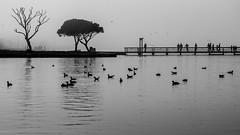 "all the actors on the stage / ""Life would be tragic if it weren't funny."" (Özgür Gürgey) Tags: 105mm 14032018 169 2018 bw büyükçekmece d750 hawking nikon sigma birds fog lake silhouettes istanbul bridge trees"