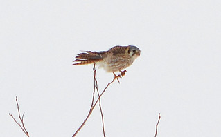 American Kestrel on a windy day at the pond