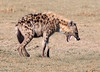 SPOTTED HYENA (gazza294) Tags: hyena spottedhyena kenya masaimara naturetrek nationalgeographic nature wildlifemagazine wildlife wildlifephotography wildlifephotographer flicker flickr flckr flickrexplore flkr gazza294 garymargetts wildanimal laughinghyena
