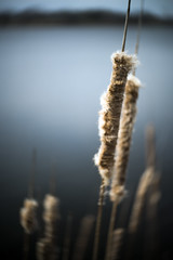 Spring Cattail (Sean Anderson Media) Tags: cattail spring lake shallowdof shallowfocus nature vignette twist softedges lensbaby lensbabytwist60 twist60 composerii lensblur lenswhirl sonya7rii fotodiox ndthrottle lensadapter illinois lakecounty forestpreserve