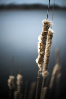 Spring Cattail