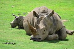DSC_5351 (Andrew Nakamura) Tags: animal mammal rhino rhinoceros whiterhino southernwhiterhinoceros lyingdown sandiegozoosafaripark safaripark escondido rhinocalf mothercalf