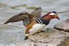 Мандаринка, Aix galericulata, Mandarin Duck (Oleg Nomad) Tags: мандаринка aixgalericulata mandarinduck птицы утка фотоохота москва birs aves moscow russia